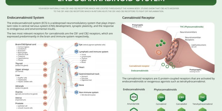 Everything You Need to Know About the Endocannabinoid System
